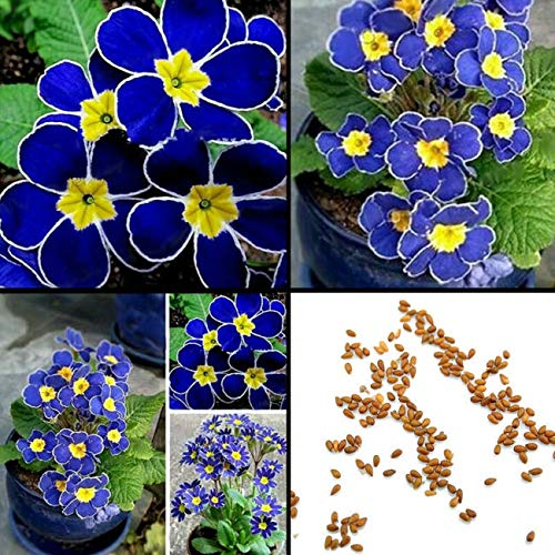 100 Pcs Rare Blue Pansy Evening Primrose Seeds Easy 2 Plant Garden Decor Flower - Ship from US by US Seller.