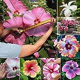 Hibisco Semillas, 200pcs / bag hibisco colorido de los gérmenes ornamentales sencillos para semillas de plantas color de la mezcla estampado de flores de Bonsai