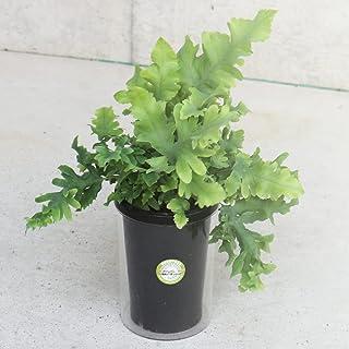 フレボディウム ダバナ 3.5号タンブラー仕立て【品種で選べる観葉植物/1本売り】フリルのように波立つ美しい葉が特徴のシダ植物です。光に透かすと青白く輝いて見える葉がキレイです。おしゃれなボタニカルタンブラー仕立てで、容器に水を入れるだけの水や...
