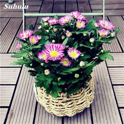 Grosses soldes! 50 Pcs Daisy Graines de fleurs crème glacée parfum de fleurs en pot Chrysanthemum jardin Décoration Bonsai Graines de fleurs 13