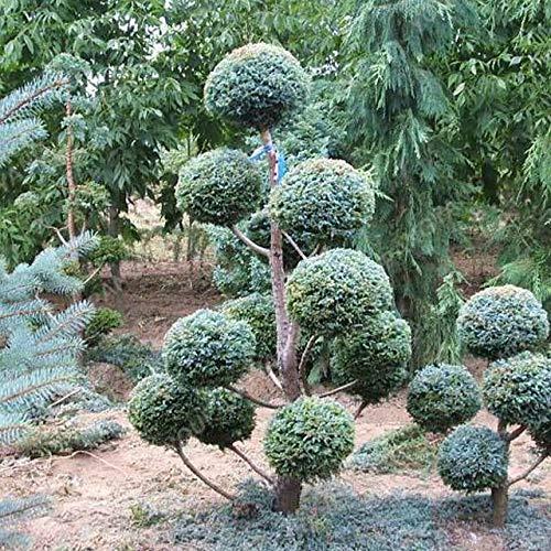 AGROBITS 100pcs Kleine runde Zypresse Bonsai wachsen sehr einfach Schöne Cypress Bonsai-Baum plantas Für Hausgarten Zimmerpflanzen: Zypresse Samen