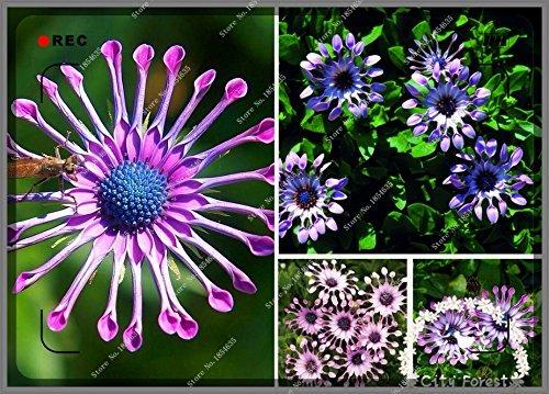 500pcs / sac Daisy plantes vivaces fleurs ornementales fleurs graine ornemental plante exotique Gerbera, bonsaï maison jardin
