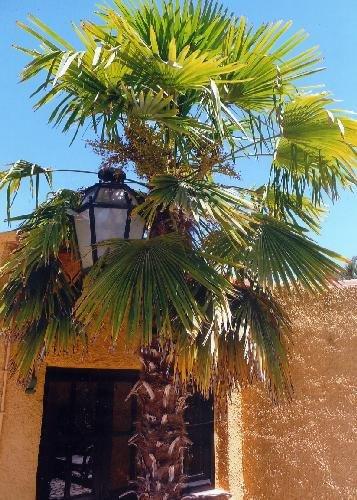 TROPICA - Hanfpalme (Chamaerops excelsa syn. Trachycarpus fortunei) - 10 Samen