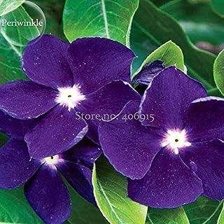 Rare Beautiful Purple Periwinkle Vinca Major Flower, 10 Seeds, Very Beautiful Climbing Plant Light up Your Garden Flowers E3712