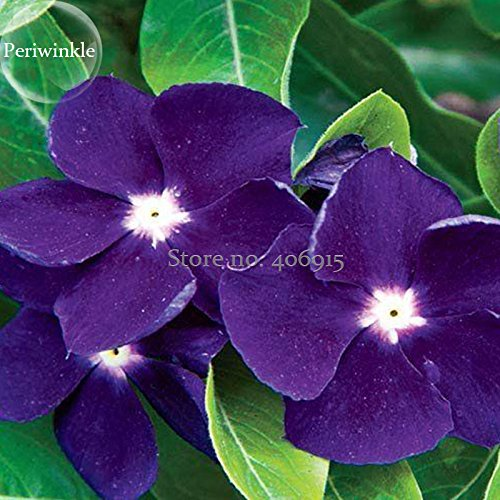 Rare Beautiful Purple Periwinkle Vinca Major Flower, 10 Seeds, Very Beautiful Climbing Plant Light up Your Garden Flowers E3712