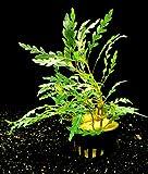 Zoomeister - 1 Topf Fiederspaltiger Wasserfreund (Hygrophila...