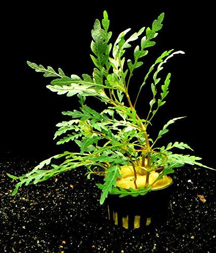 Zoomeister - 1 Topf Fiederspaltiger Wasserfreund (Hygrophila pinnatifida)