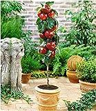 BALDUR Garten Befruchtersorte Apfel 'Gala', 1 Pflanze Säulenapfel Säulenobst winterhart