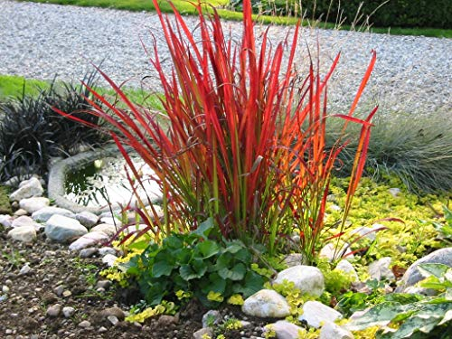 3 x Imperata cylindrica 'Red Baron'...
