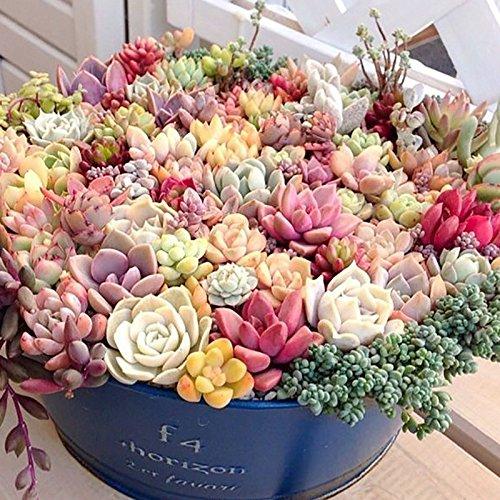 100pcs / lot, Hibiscus Bonsai Seed. Hibiscus moscheutos Luna Rouge. Belles ans grande fleur. graines de fleurs,.
