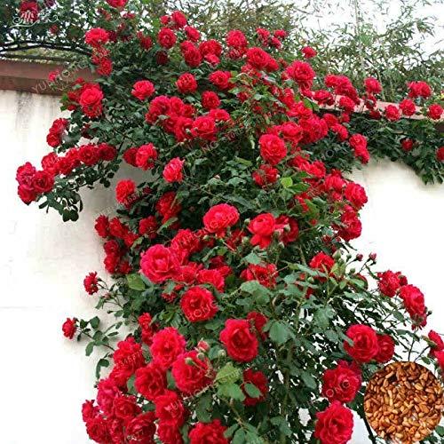 HONIC Lila: 100 PC-Kletterrose Außentopfbonsaipflanzen Rose Samen Rosa Perennial Flo