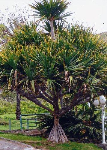 TROPICA - Vacoa (Pandanus utilis) - 5 graines- Magie tropicale
