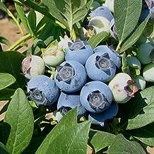 Best legacy highbush blueberry Reviews