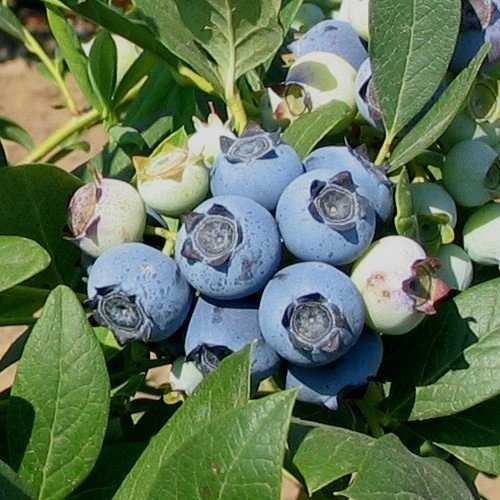 Blueberry Plants Biloxi Southern Highbush Includes (4) Four Plants