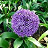 Ncient 10/20/50/100 Semi Sementi di Allium Giganteum Semi di Fiori Rari Piante Profumati per Orto Giardino Balcone Interni ed Esterni #1