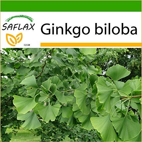 SAFLAX - Ginkgo - 4 Samen - Mit keimfreiem Anzuchtsubstrat - Ginkgo biloba