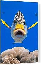 Diagonal Banded Sweetlips Fish Acrylic Wall Art Photo Print Carl Chapman 1182 (60x40cm (23.6×15.7in))