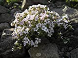 20 Alpine Baby's Breath Seeds CERASTIOIDES Pixie Splash Mouse-Ear gypsophila, Chickweed Baby's-Breath, Loved by Butterflies, Best for Rock Garden