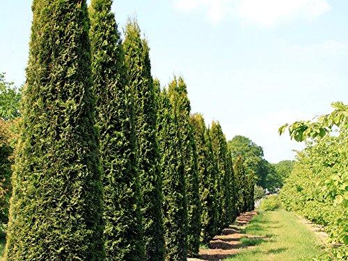 1 Stk. Thuja Lebensbaum Smaragd - Thujahecke Ballenware 80 - 100 cm hoch - Thuja occidentalis Smaragd - Garten von Ehren®