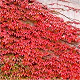 Yumhouse Flores Ornamentales Raras,Planta perenne de Hoja perenne Enredadera Parthenocissus Seeds-50 cápsulas_Hojas Rojas,Colección Grow
