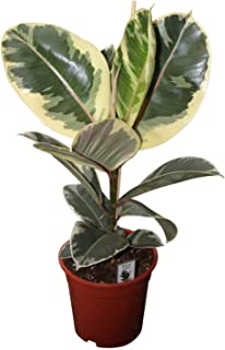 variegated rubber plant best indoor air purifying plant include pot