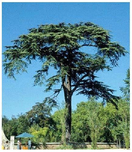 Tropica Lot de 20 graines de cèdre du Liban (Cedrus libani)