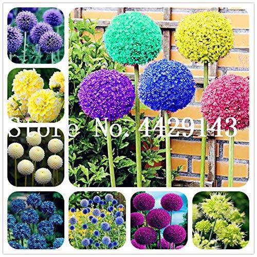 Generic Fresh 200 Stück Allium Giganteum Blumensamen zum Pflanzen Mischfarben