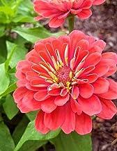 Zinnia Annual Flower Flowers Zinnias Annuals Garden Gardening Cut Flower Florist: Notebook Large Size 8.5 x 11 Ruled 150 P...