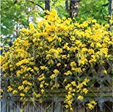 50PCS Rare Climbing Plants Seedlings Jasmine Seeds Amazing Smell & Beautiful Flowers Seeds Perennial Decorated Home Garden