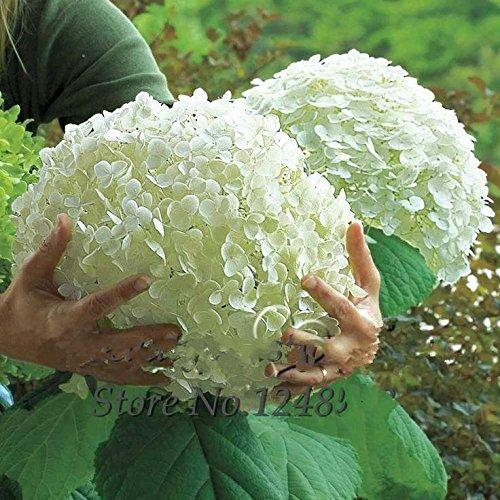 Promotion * 50 pcs / sac de graines Blanc Hydrangea Fleur, couleur pure, durables, magnifique balcon de bonsaï ou dans la cour fleur plante