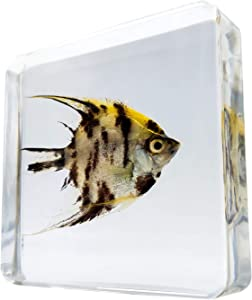 LOOYAR Sea Fish Resin Paperweight Desk Decoration Taxidermy Animals Biology Anatomy Educational Teaching Tool Toy Specimen for Kid Book Office Science Education Classroom