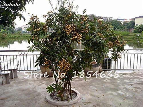 Longane semences rares arbres fruitiers yeux d'extérieur non-OGM Semente biologique de frutas Tropicais meilleur cadeau pour les enfants de 10 pièces
