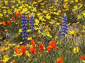 Southwest Wildflower Blend (500 sq ft)