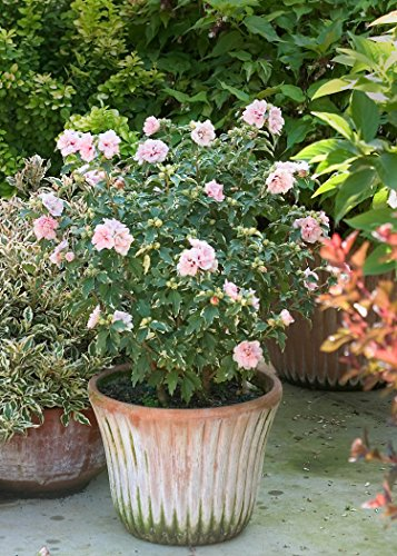 Sugar Tip Rose of Sharon (Hibiscus) Live Shrub, Light Pink Flowers and...