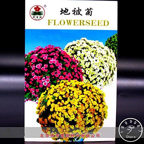 New Seeds frais Perennial Racine couvre-sol Chrysanthemum Graines de fleurs, Original, 50 graines / Pack, facile à cultiver, # MT4ON0
