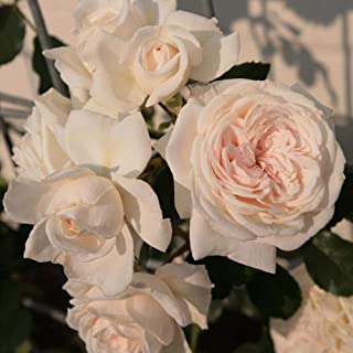 Own-Root One Gallon Honeymoon Climbing Rose by Heirloom Roses