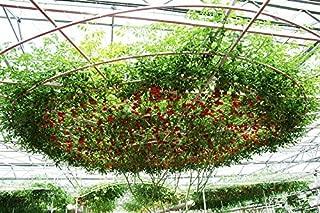 *GIANT* 5 ITALIAN TREE TOMATO SEEDS*DELICIOSO*rare#1156