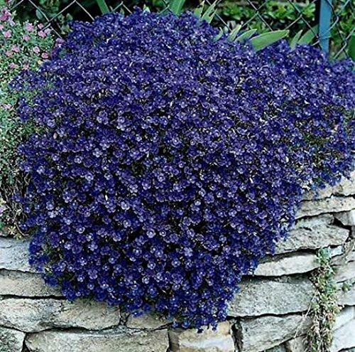 ScoutSeed Rock Cress Seeds Cascading Blue - Erbstück Bodendecker Mehrjährige Packung 50ct