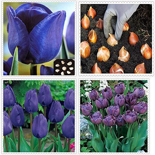 Tulipanes bulbos-Tulipanes morados raros, hermosas plantas vivas de decoración de parques, plantas raras fáciles de cultivar (no semillas)-5bulbos