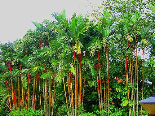 10 pcs/sac Fesh Cyrtostachys Renda Rouge à lèvres Palmier Graines -Palm plante en pot bonsaï semences pour le jardin de la maison