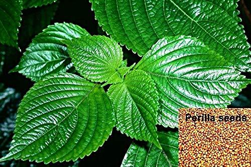 100 Perilla frutescens Samen, Shiso, Schwarznessel, Zi Su, asiat. Gewürzkraut, wichtig in der TCM