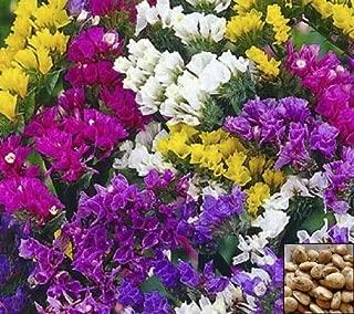 Portal Cool Statice Yellow - Dry Flower Sea Lavender - Limonium Sinuatum - 130 Seeds #958