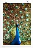 EAU ZONE Home Bild - Tierbilder – Bunter Pfau- Poster