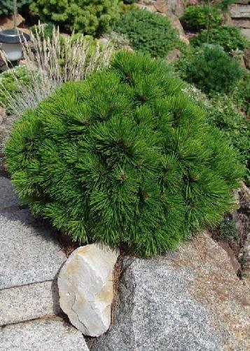 Tropica - Steingarten - Zwerg-Schlangenhautkiefer (Pinus leucodermis 'Satelite' ) - 30 Samen