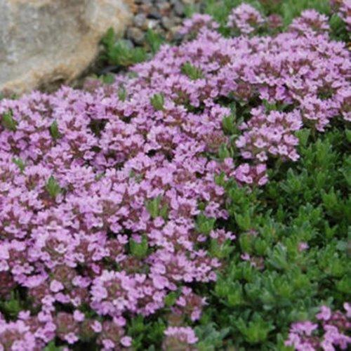 3000 Samen Purple Thymian, Sandthymian –Thymus serpyllum, idealer Bodendecker