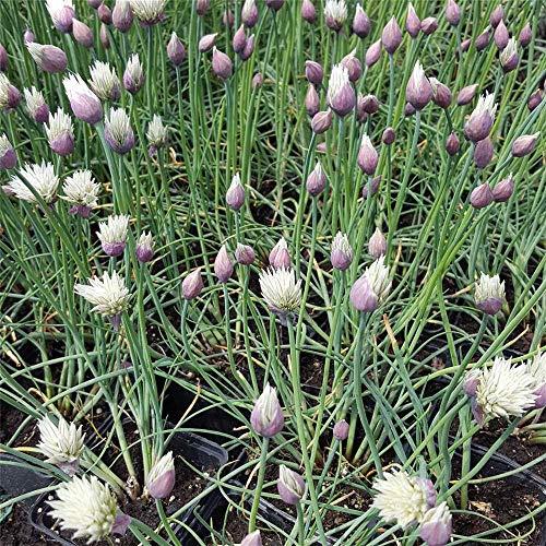 Allium schoenoprasum 'Elbe' - Schnittlauch 'Elbe' - 9cm Topf