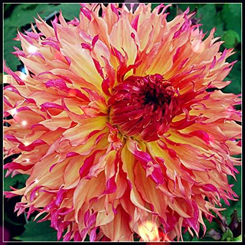Dahlien Knollen Winterhart,Garten,Balkonpflanzen,Blumen,Sehr überrascht,Glühbirnen, Seltene Pflanzen, Gut Wachsend-Gelb Orange,2 Zwiebeln