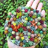 LIANA IRWIN 100 stücke Sukkulenten succulent perennial herb plants bonsai,Verschönern,Perfekt für das pflanzen von balkon, garten, wohnzimmer, fensterbank, etc.