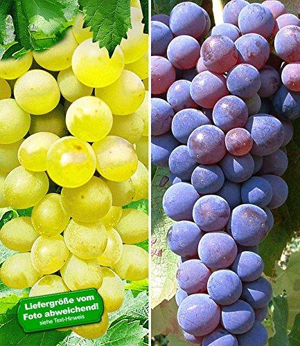 BALDUR-Garten Kernlose Tafel-Traube Venus und Kernlose Tafel-Traube New York 2 Pflanzen Weinreben Vitis vinifera Weintrauben kernlos