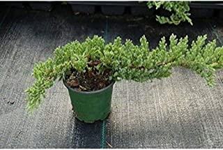 Dwarf Japanese Garden Juniper Nana Bonsai Tree Healthy 4